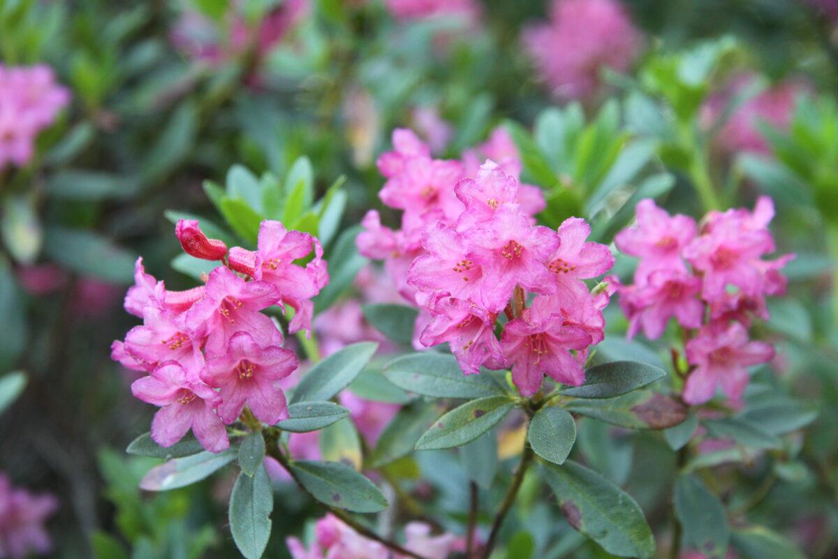Rh. hirsutum Asmatainais rododendrs