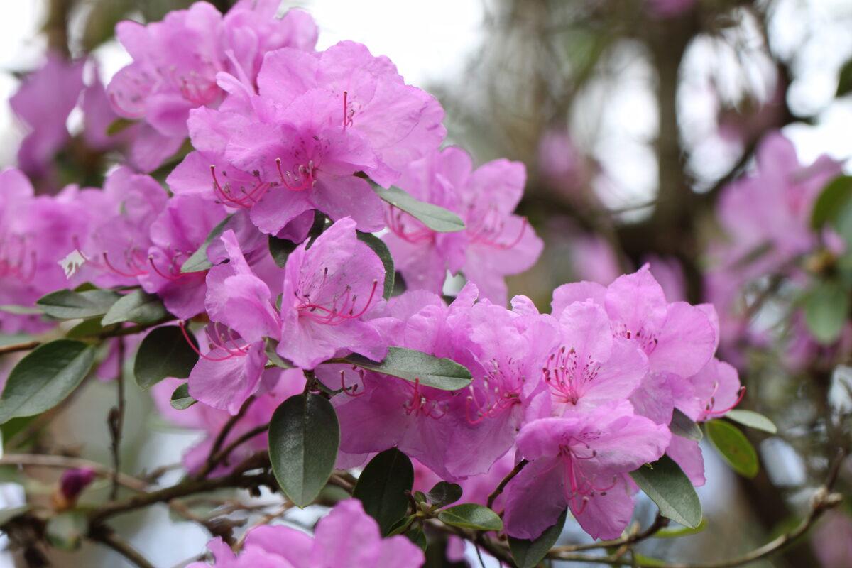Rh. ledebourii Ledebūra rododendrs