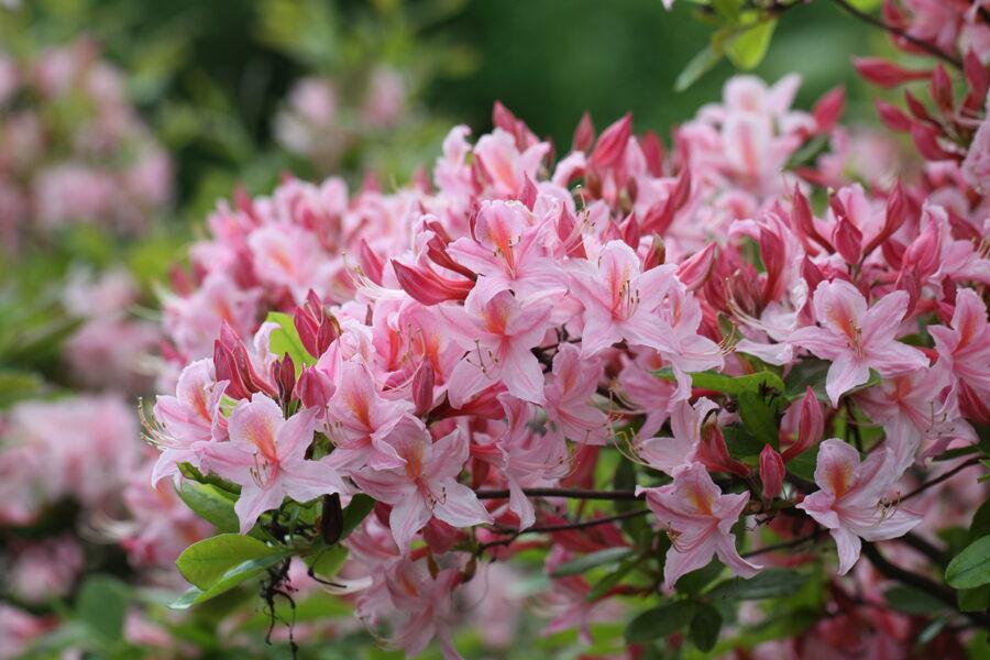 Rh. prinophyllum Rožainais rododendrs