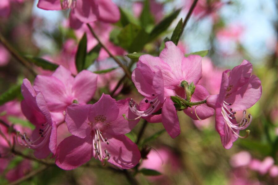 Rh. albrechtii Albrehta rododendrs
