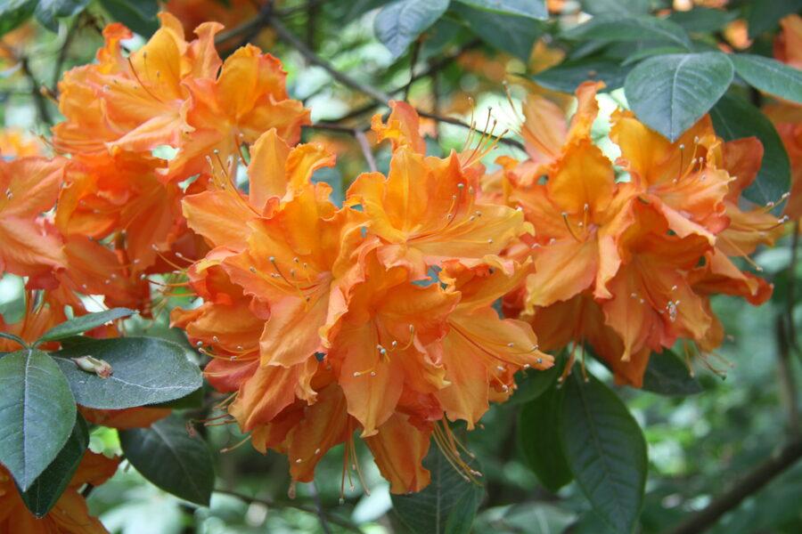 Vasarzaļie rododendri šķirnes
