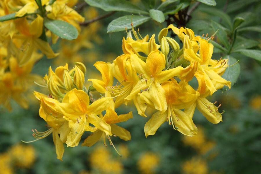 Rh. luteum Dzeltenais rododendrs